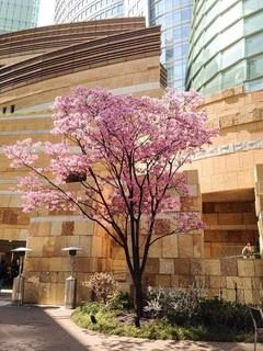 29.4桜のたより♪②.jpg