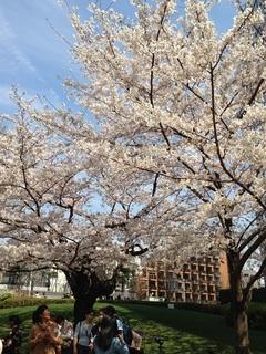 29.4桜のたより♪④.JPG