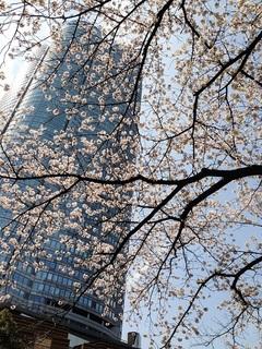 29.4桜のたより♪⑤.jpg